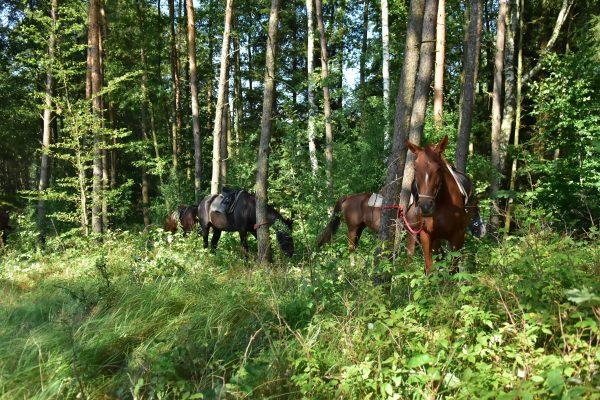 21. W czasie pikniku konie zaparkowane w cieniu