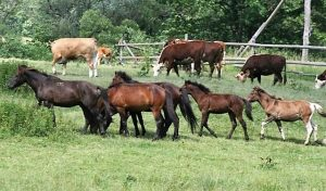 Polany Surowiczne - mustangi i bizony